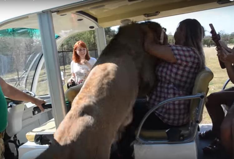 Löwe im Auto mit Touristen!