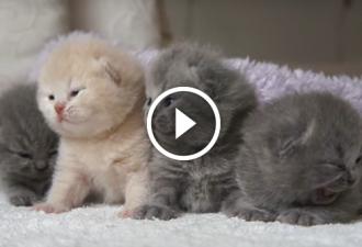 Die Kätzchen der britischen Rasse sind immer noch sehr klein. Sie sind aber zu süß...
