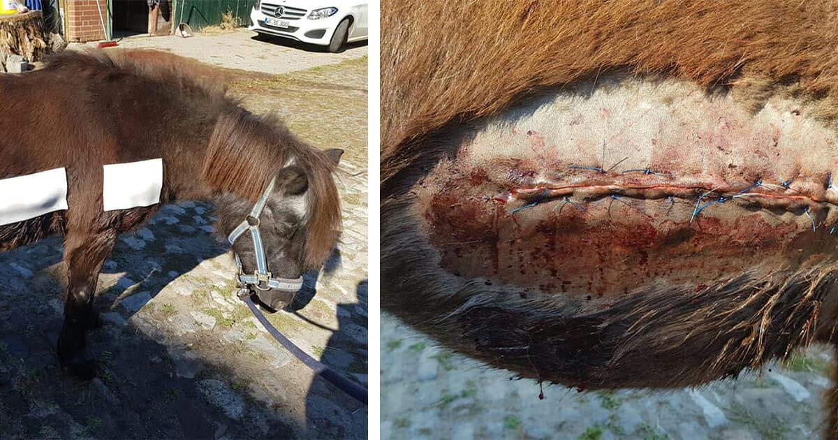 Tierquäler schlitzt in Wolfenbüttel 28 jährige Stute auf – Clärchen kämpft um ihr Leben