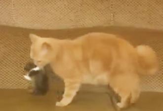 Der Hase, der nur 7 Tage alt war, war verwaist. Aber schau, was die Katze mit ihm gemacht hat!