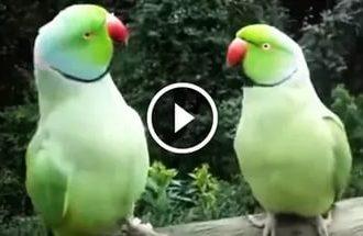 Ein Lustiger Dialog zwischen zwei lustigen Papageien. Ich konnte nicht mein Lachen zurückhalten!