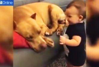 Der Junge ging zum schlafenden Pitbull und küsste ihn. Die Raktion des Hundes ist etwas!