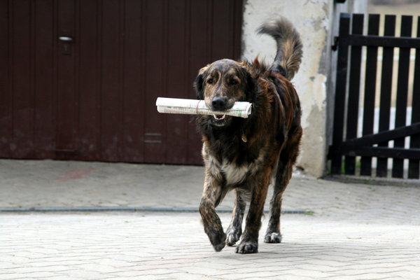 Der Labrador-Welpe wollte dem Besitzer eine Zeitung bringen, aber etwas ist schief gegangen...