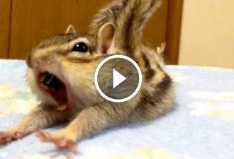 Schau dir einfach an, wie die Streifenhörnchen aufwachen. Man kann sein Lachen einfach nicht zurückhalten!