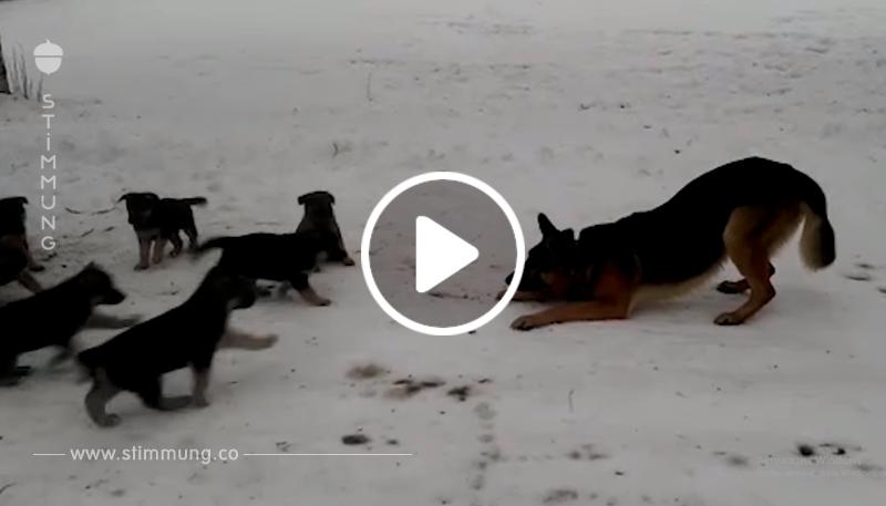 Papa-Schäferhund unterhält seine Kinder! Einfach schön!