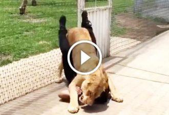 Die Löwin hat für mehrere Jahre den Mann nicht gesehen, der sie gerettet hat. Und dann hat sie ihn  getroffen und geschah etwas...