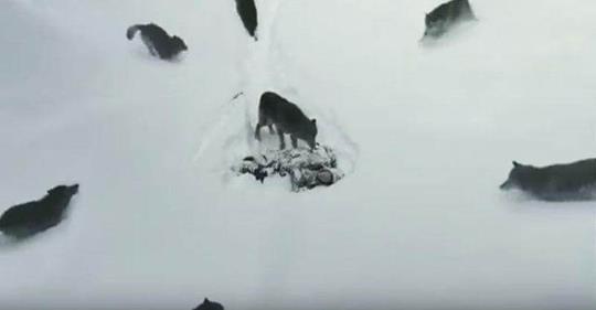 Diese Wölfe haben eine menschliche Seele. Video, das fast die ganze Welt schockierte!