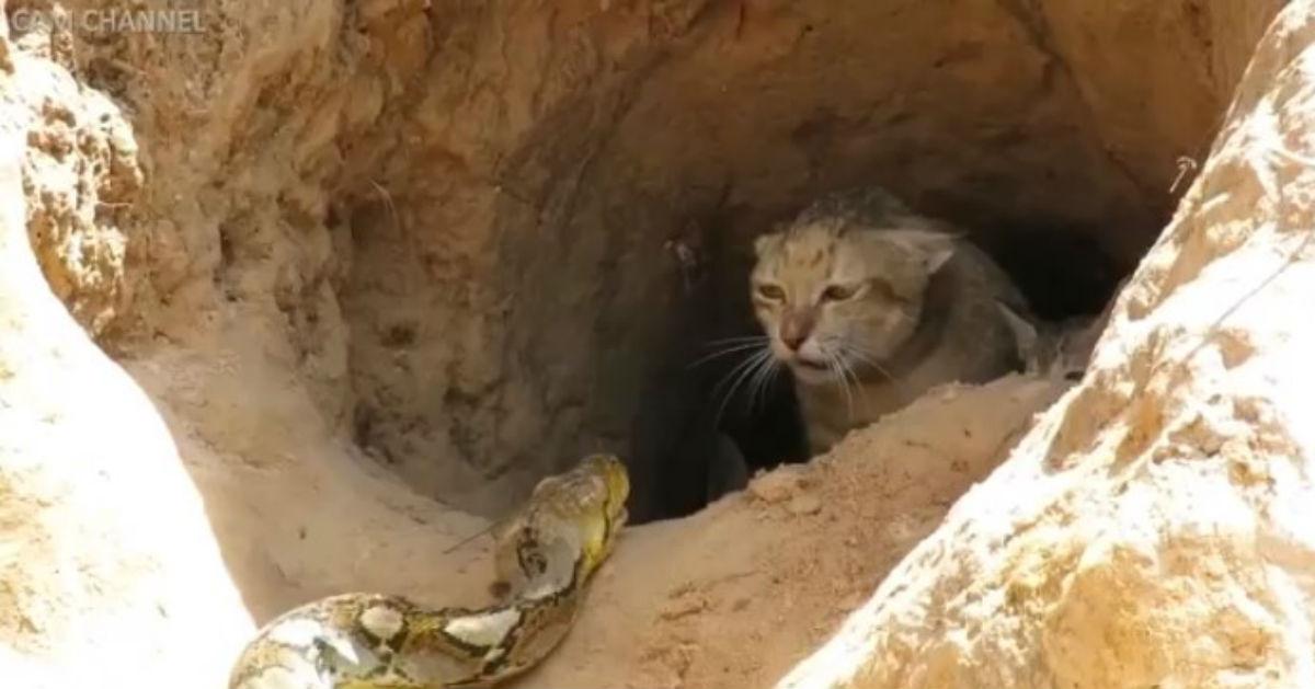 Sehen Sie, sie diese wilde Katze, gegen eine Pythonschlange kämpft, um ihre Kätzchen zu schützen.
