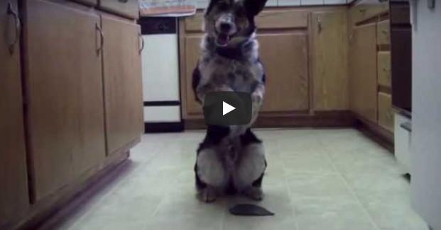 Der klügste Hund der Welt - so wurde er genannt. Schau nur, WAS er machen kann!