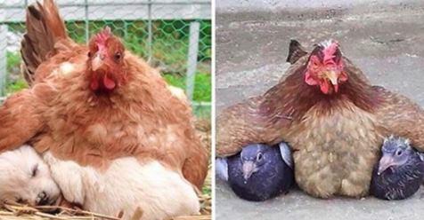 15 lustige Hennen, die fremde Babys beglucken.