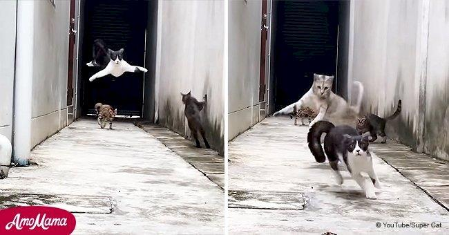 Ein Kater entgeht drei anderen Katzen, die ihn zu fangen versuchten – das Video wurde viral