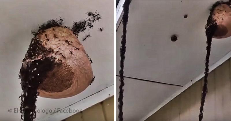 Ameisen haben eine Brücke von ihren eigenen Körpern gebaut, um zum Wespennest zu erreichen