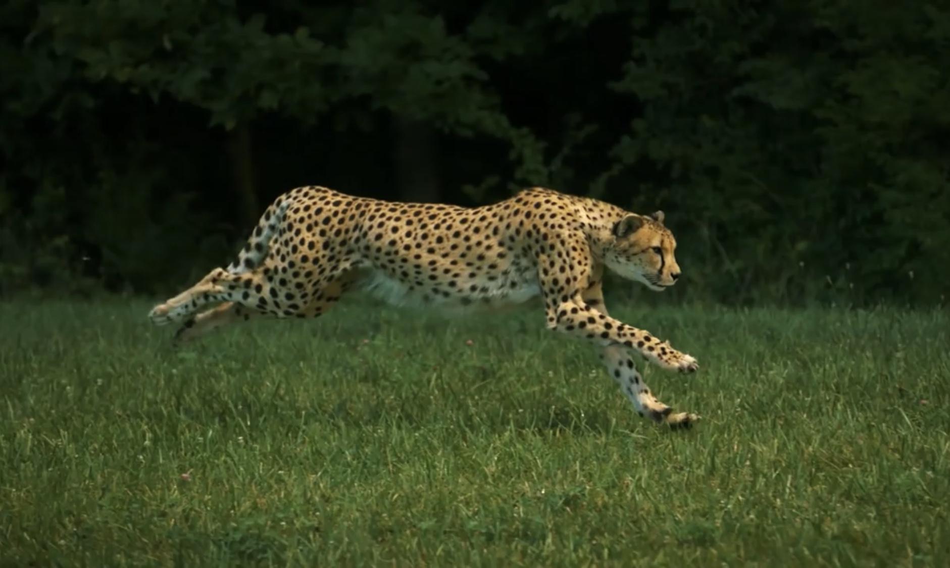 Slow-Motion-Video eines laufenden Geparden (1200 Bilder / Sek.)