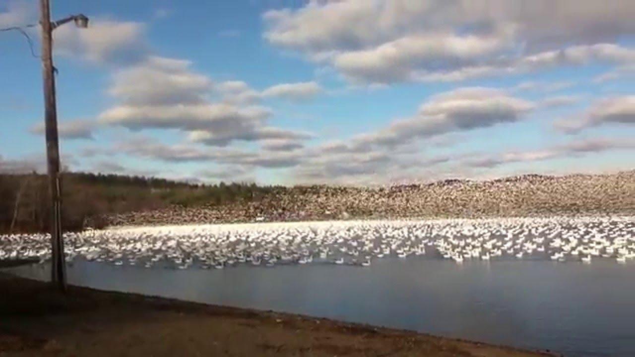 Tausende weißen Gänsen sind gleichzeitig von der Oberfläche des Sees geflogen