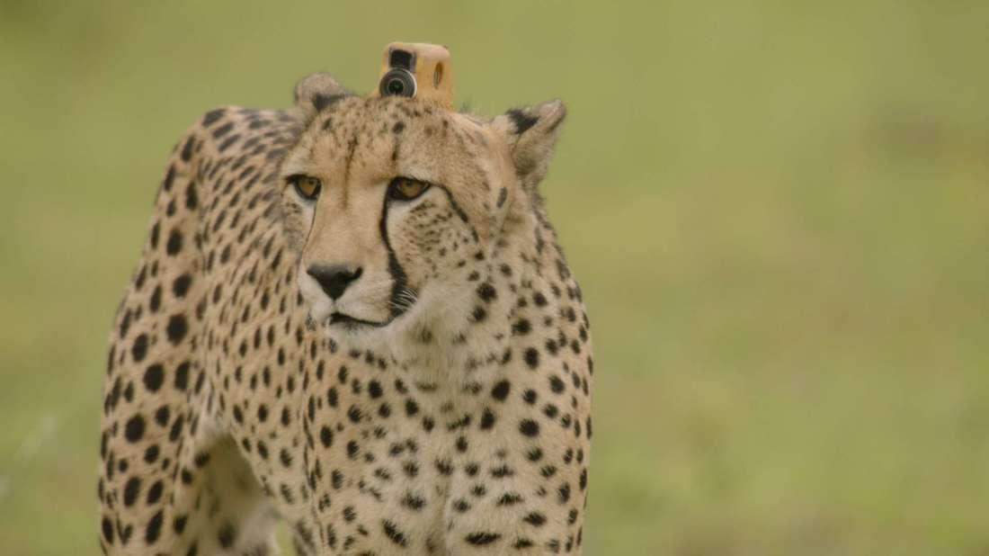 Sie verbanden dem Gepard eine Kamera und schickten sie zur Jagd.