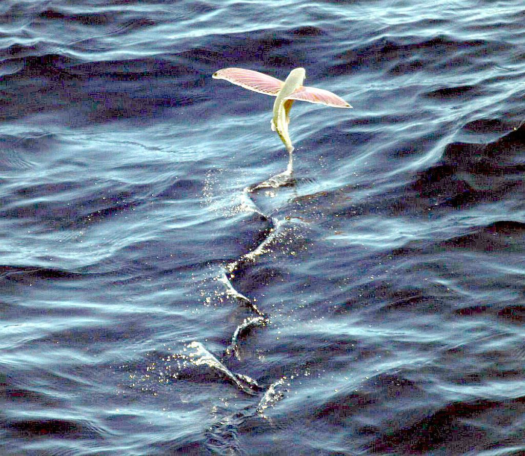 Welche Gefahre gibt es im Leben von fliegenden Fischen?