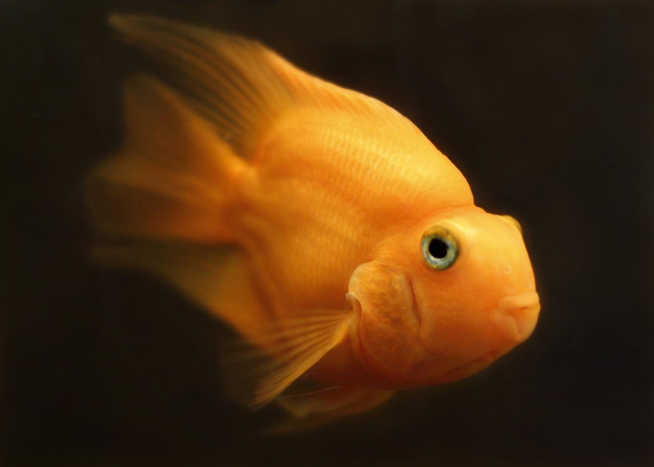 Goldfische überleben den Winter dank ... Alkohol
