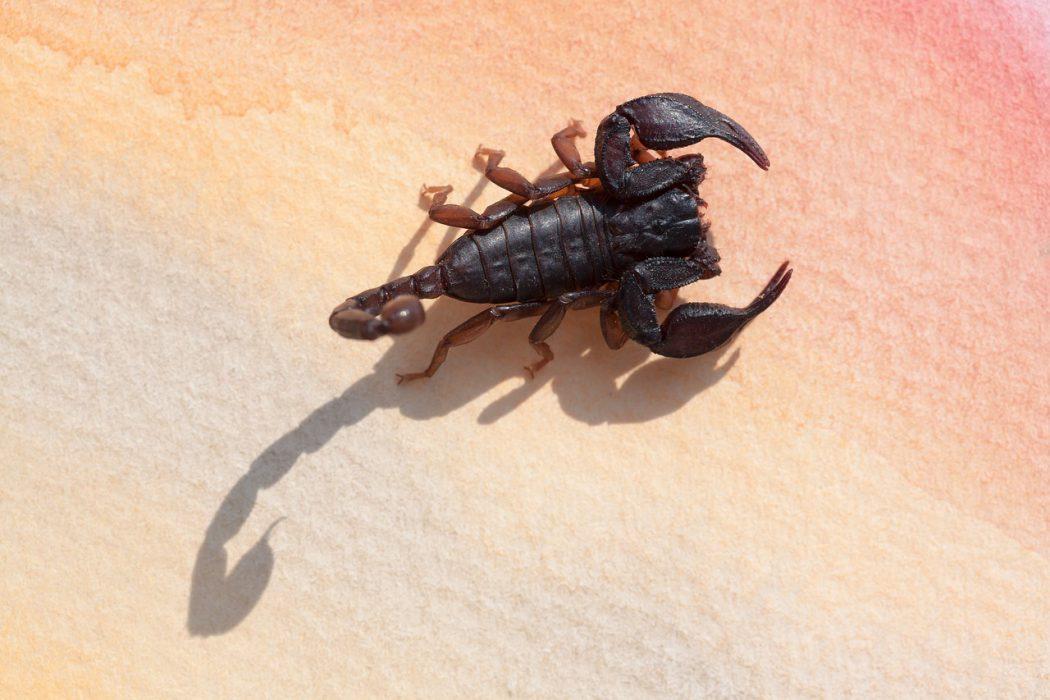 Microtityus minimus   der kleinste Skorpion der Welt
