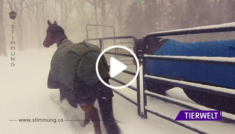 Er führte die Pferde zu einem Winterspaziergang. Das ist ein urkomisches Video!
