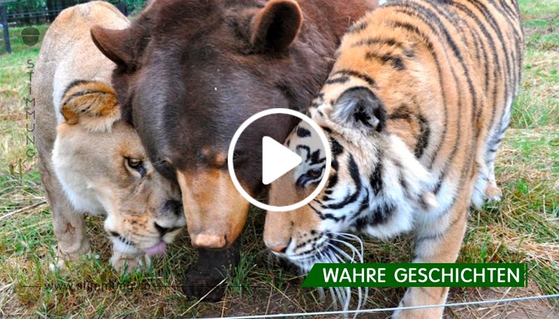 Die unglaubliche Freundschaft eines Löwen, eines Bären und eines Tigers schockierte die ganze Welt! Fantastisch!