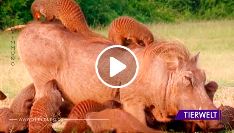 Ein Warzenschwein sah eine Herde von Mungos und legte sich sofort auf den Boden. Spa in Afrika.