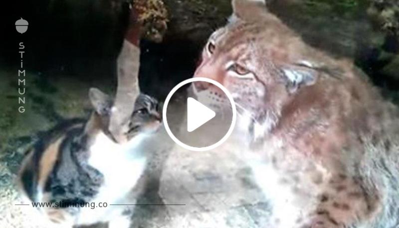 Jeder war schockiert, als die Katze in das Gehege des Luchs fällt – dann passiert etwas Unerwartetes!