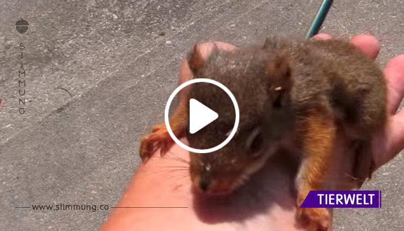 Ein kleines Eichhörnchen ist ohne Mama geblieben und bittet um Schutz vor einem Mann! Dieses berührende Video wird jedes Herz zum Schmelzen bringen