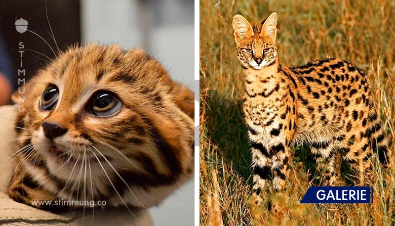 Seltene Arten von Katzen, von denen du noch nichts wusstest! Sie sind einfach hervorragend!