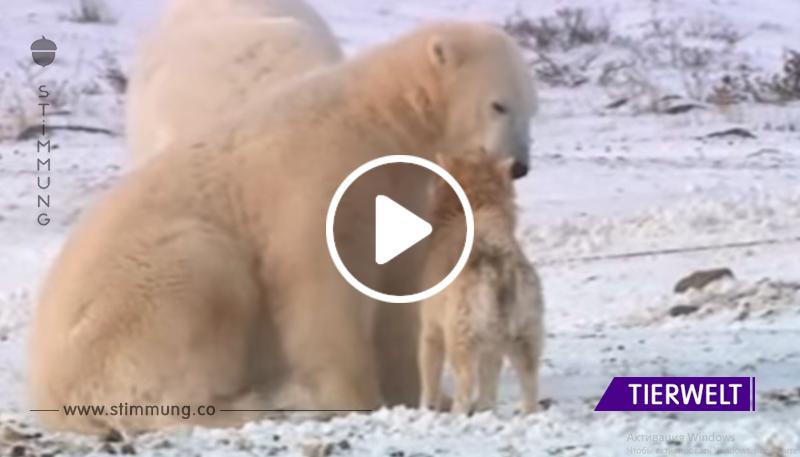 Eisbären haben die Gruppe von Hunden umgegeben ... Nächster Schock!