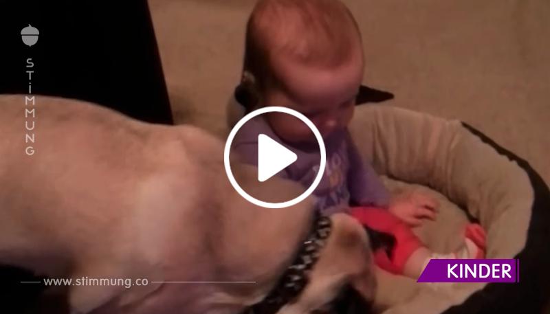 Das Baby setzte sich aufs Bett des Mops. Schau nur, was der Hund getan hat!