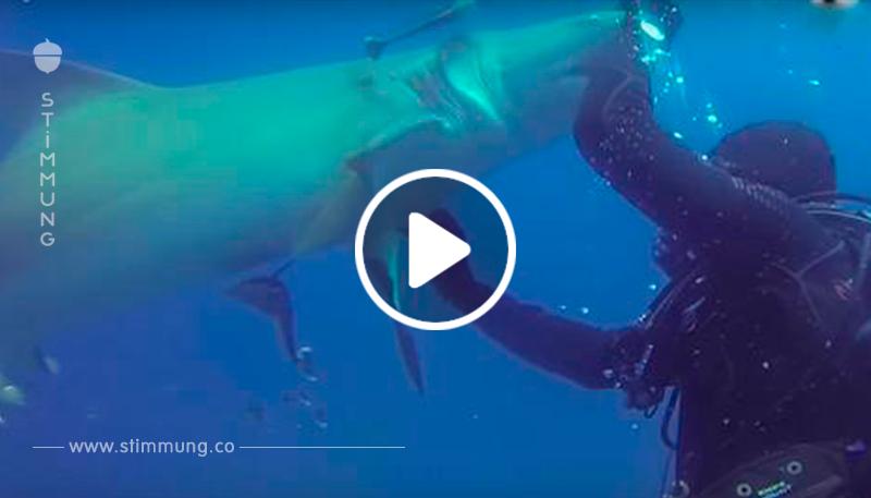 Taucher erkennt, dass der Angriff eines Hais eigentlich ein Hilfeschrei ist