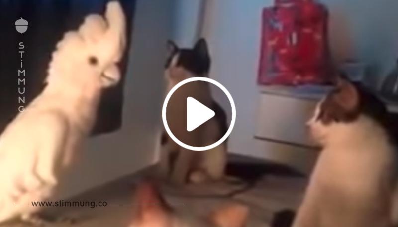 Schlauer Papagei lernte miauen! Die Katzen von dem, was sie gehört haben, fielen in Trance ...