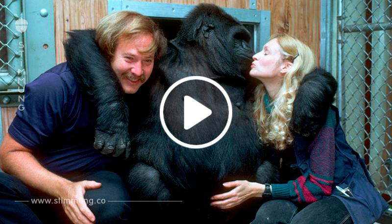 Gorilla Coco - das intelligenteste Tier der Welt