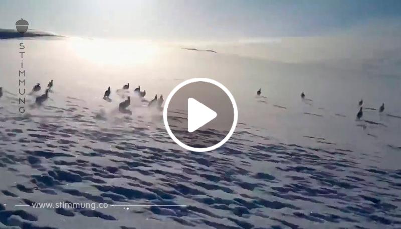 Eine riesige Herde von Kaninchen läuft vor einem Schneemobil