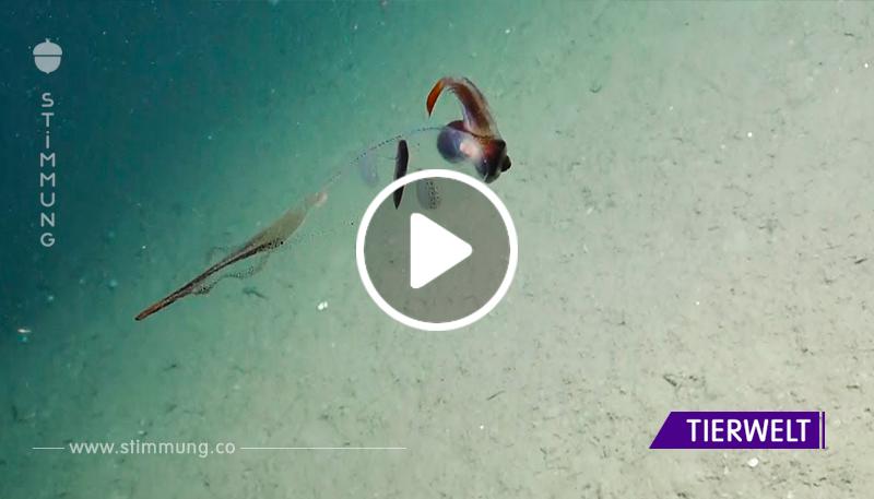 Erstaunlicher transparenter Tintenfischkakadu