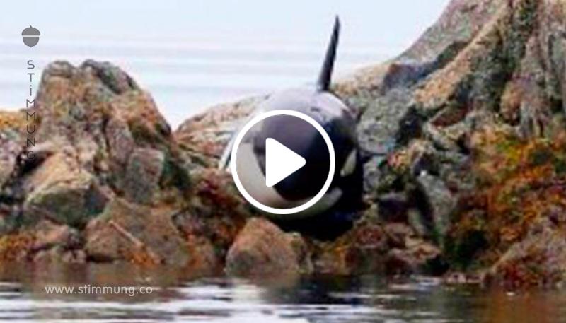 Killerwal in den Felsen stecken, sie starb ohne Wasser, aber die Leute sahen sie ...