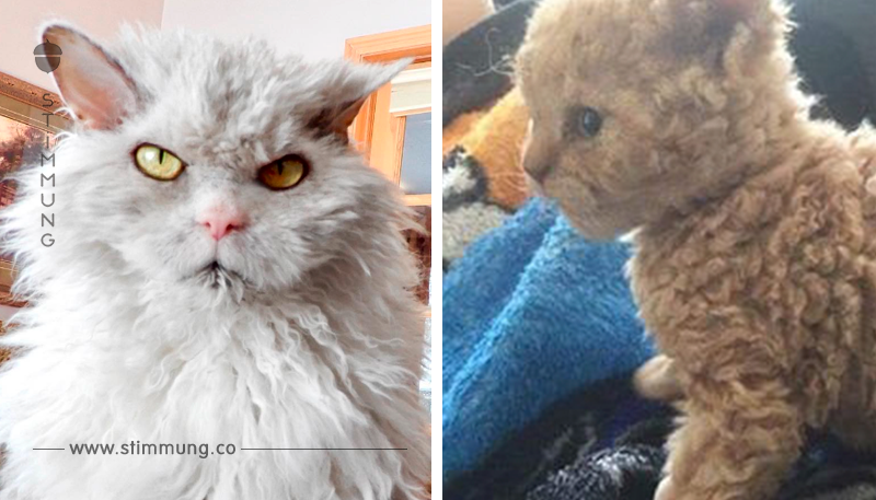 Sooo süß: Kätzchen mit Locken bringen das Netz zum Ausflippen