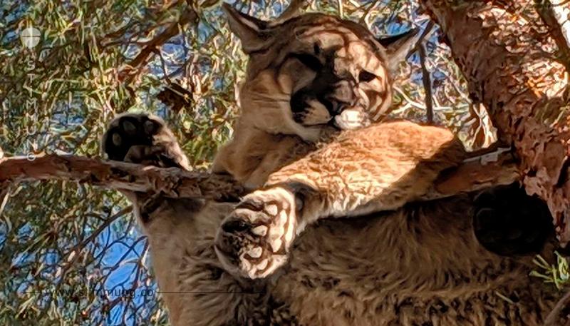 Hier rettet die Feuerwehr einen Puma vom Baum!