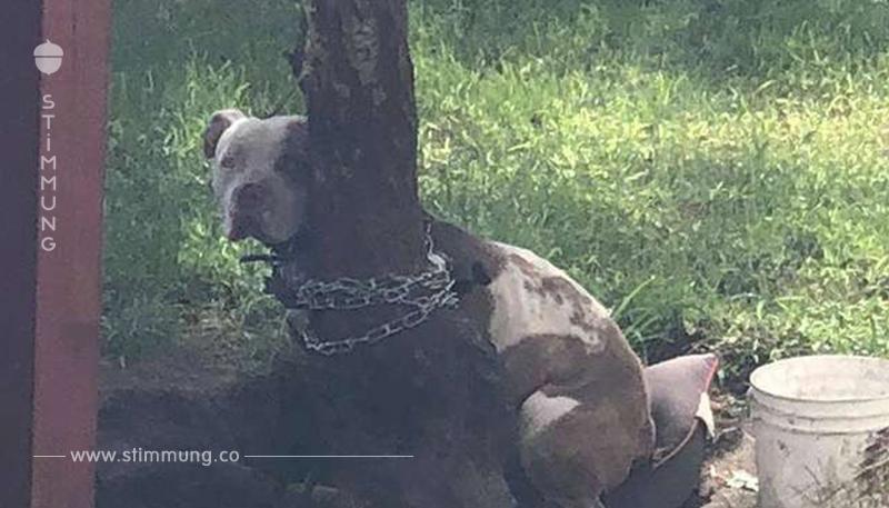 Pitbull wurde so eng an einen Baum gebunden, dass er kaum seinen Kopf drehen konnte
