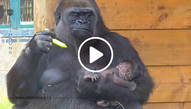 Die Familie der Gorillas hat ein neues Mitglied. Schau dir nur die Reaktion des älteren Bruders an! Das ist etwas!