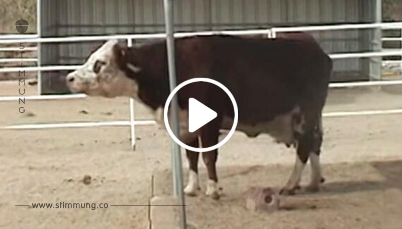 Niemand weiß, warum die Kuh weint – dann wird das schreckliche Geheimnis ihres Vorbesitzers aufgedeckt …