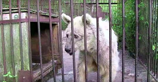 Einsame Bärin war für 30 Jahre in einem rostigen Käfig gefangen, aber sie sie Dir jetzt nach ihrer Befreiung an