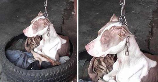 Hündin, die an so einer kurzen Leine gehalten wurde, dass sie nie ihren Kopf ausruhen konnte, wird gerettet und die Bilder danach werden Dich freuen