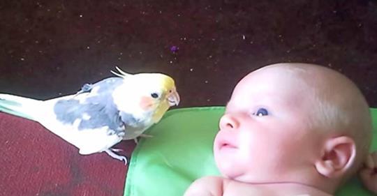 Papagei singt süßes Wiegenlied für neugeborenes Baby. Wunderschön!