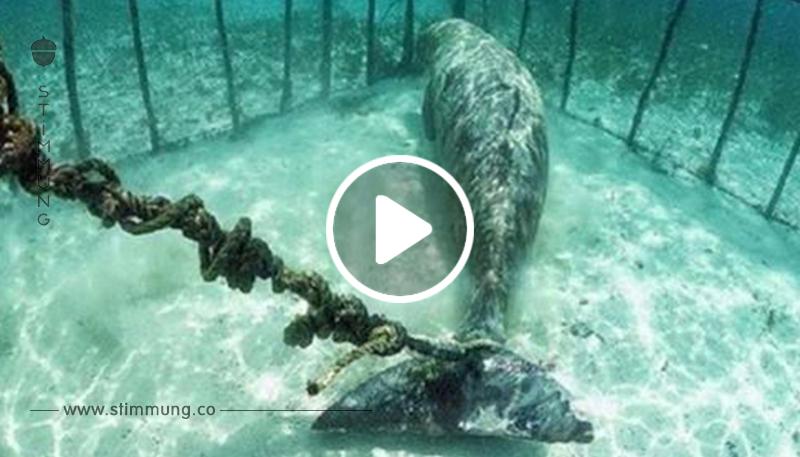 Drohnenaufnahmen enthüllen über 100 Wale, die in versteckten Unterwasser Gefängnissen gefangen sind