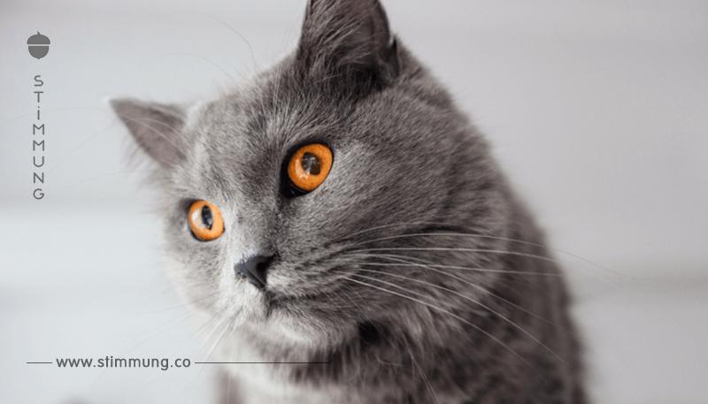 Rasseportrait: Kartäuser Katze
