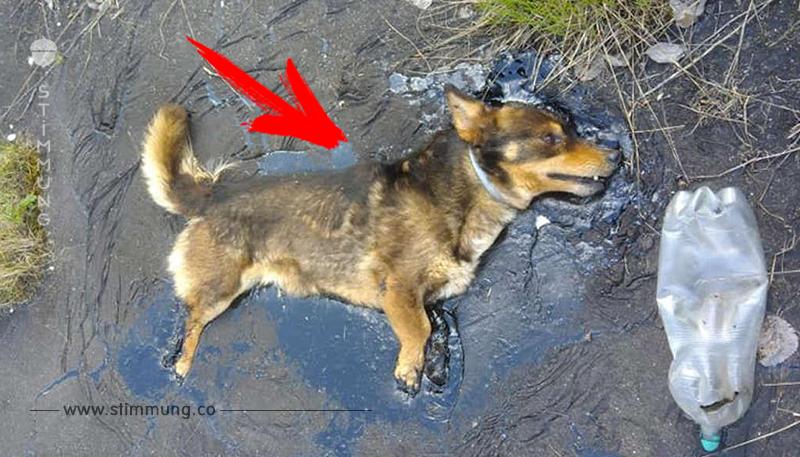 Kleiner Hund steckt in Teerpfütze fest & bellt stundenlang nach Hilfe
