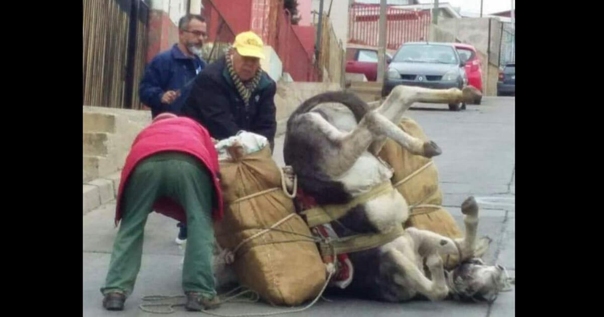 Tierquälerei: Esel bricht zusammen, weil er gezwungen wird schwere Lasten zu schleppen