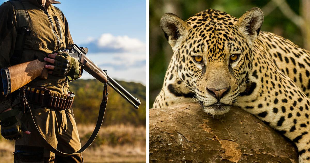 Brasilien: Über 1.000 Jaguare wurden von Zahnarzt getötet – er war Teil einer 7 köpfigen Bande