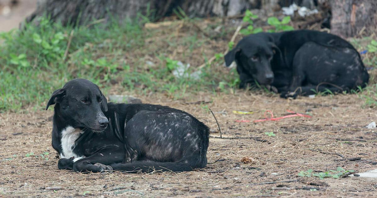 Vier Straßenhunde werden als Helden gefeiert – Lehrer entdeckte sie, wie sie ein ausgesetztes Baby beschützten